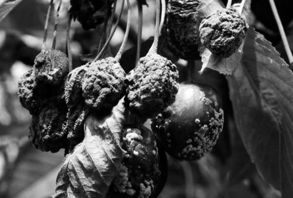 tomasino - frutto (foto web)