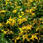 ALMAN-Ginestra spinosa (foto web)