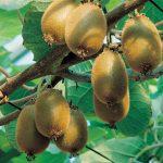 alman-Actinidia-kiwi (foto web)
