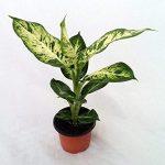alman-Dieffenbachia (foto web)