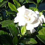 alman-Gardenia Jasminoides (foto web)