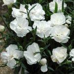 alman-Garofano-bianco (foto web)