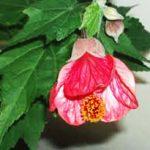 alman-abutilon acero da fiore (foto web)