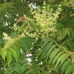 alman-ailanto-albero del paradiso (foto web)