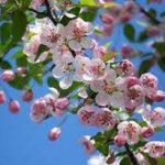 alman-fiori di melo (foto web)