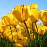 alman-tulipano-giallo (foto web)