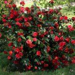 ALMAN-camelia-rossa (FOTO WEB)