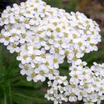 alman-ACHILLEA MILLEFOGLIE (Achillea millefolium) (foto web)