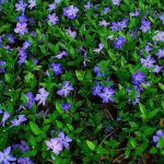 alman-PERVINCA (Vinca minor)(foto web)