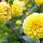 alman-dalia gialla (foto web)