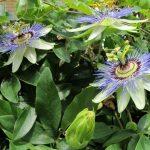 alman-fiore-della-passione (foto web)