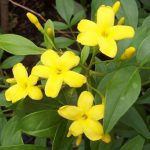 alman-gelsomino-giallo-(foto web)