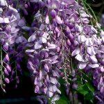 alman-glicine-(foto web)