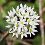 alman-AGLIO SELVATICO o orsino (Allium ursinum) (foto web)