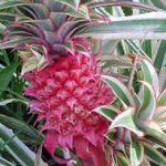 alman-ANANAS (Ananas comosus) (foto web)