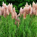 alman-Cortaderia selloana (erba della Pampas) (Foto web)