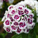 alman-Dianto Barbato (Dianthus_barbatus)(foto web)