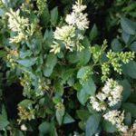alman-Ligustro da siepe (foto web)