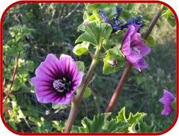 alman-Malvone-althea rosea (foto web)