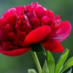 alman-Peonia Rossa (foto web)