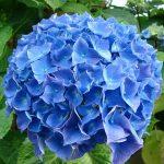 alman-ortensia-azzurra (foto web)