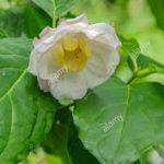 alman-pepe della giamaica (foto web)
