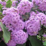 alman-Eupatoria (foto web)