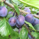 alman-SUSINO (Prunus domestica) (foto web)