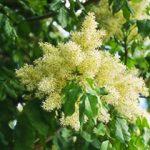 alman-frassino fiori (foto web)