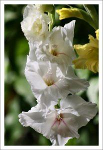 alman-gladiolo bianco-(foto web)