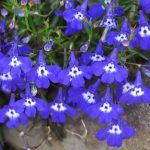alman-viola blu (foto web)