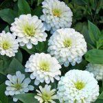 alman-zinnia bianca (foto web)