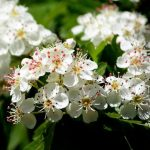 alman-BIANCOSPINO (Crataegus monogyna) (foto web)