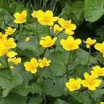 alman-CALTA PALUSTRE (Caltha palustris) (foto web)