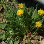 alman-Tarasacco (Taraxacum_officinalis-foto web)