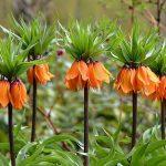 alman-corona imperiale -fritillaria imperialis (foto web)
