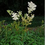 alman-Ulmaria pianta (foto web)