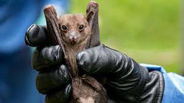 coronavirus-pipistrello (foto web)