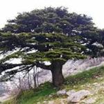 alman-cedro del libano