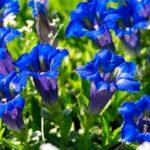 alman-Genziana blu (foto web)