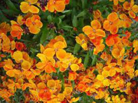 alman-violaciocca gialla (foto web)