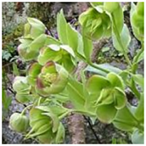 alman- Elleboro puzzolente (Helleborus foetidus) (foto web)
