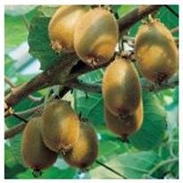 alman-actinia Kiwi (foto web