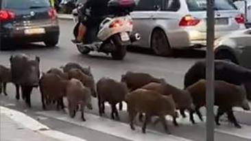 cinghiali per strada roma (foto web)